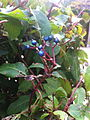 Blue berries.jpg