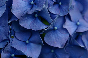 Blue closeup flowers.jpg