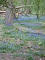 Bluebell time in Ashridge - geograph.org.uk - 443572.jpg