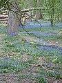 Bluebell time in Ashridge - geograph.org.uk - 443572.jpg
