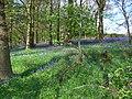 Bluebells - panoramio.jpg