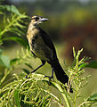 Boat-tailed Grackle at Lake Woodruff National Wildlife Refuge - Andrea Westmoreland.jpg