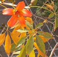 Bombax-flower-leaf.jpg