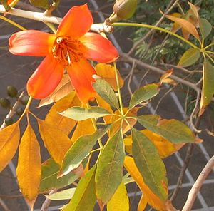 Bombax - Bombax ceiba flower