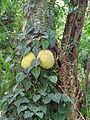 Botanical Garden of Peradeniya 59.JPG