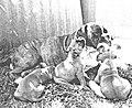 Boxerhunde 21.jpg