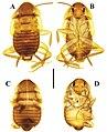 Brachylatindia xui (10.3897-zookeys.867.35991) Figure 1.jpg