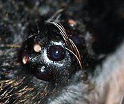 closeup of a tarantula's eye