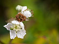 Bramble flower (10493504074).jpg