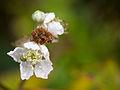 Bramble flower (10493504074).jpg