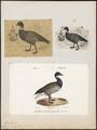 Branta bernicla - 1700-1880 - Print - Iconographia Zoologica - Special Collections University of Amsterdam - UBA01 IZ17600165.tif