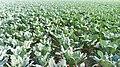 Brassica oleracea var in pabna,.jpg