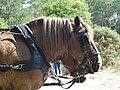 Breton horse head at Comper.jpg