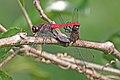 Brown-backed marsh hawk (Orthetrum chrysis) mating Chinnar.jpg