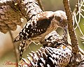 Brown Capped Pygmy Woodpecker (6953274828).jpg