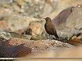 Brown Dipper (Cinclus pallasii) (44520864455).jpg