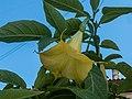Brugmansia from Nafpaktos, Northern Greece i.jpg