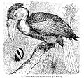 Buceros plicatus from Brockhaus Efron.jpg