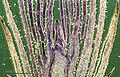 Bud (255 28) Longitudal section of lilac (Syringa vulgaris).jpg