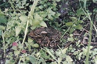 Duttaphrynus himalayanus - Image: Bufo himalayanus