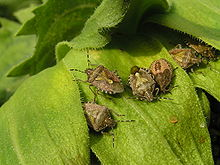 Bugs on sunflower leaves.JPG