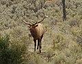 Bull-elk-yellowstone.jpg