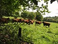 Bullocks near Wadley Brook - geograph.org.uk - 1468526.jpg