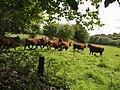 Bullocks near Wadley Brook - geograph.org.uk - 1468526.jpg