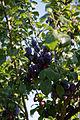 Bunch of plums Capel Manor Gardens Enfield London England.jpg