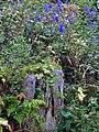 Bunter Eisenhut (Aconitum variegatum).jpg