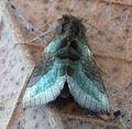 Burnished Brass. Diachrysia chrysitis - Flickr - gailhampshire (8).jpg