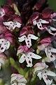 Burnt-tip Orchid - Neotinea ustulata (17070459229).jpg