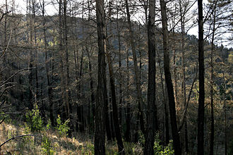 Fire ecology - Radiata pine plantation burnt during the 2003 Eastern Victorian alpine bushfires, Australia