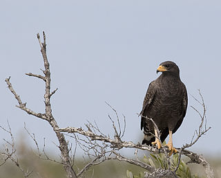 Cuban black hawk species of bird
