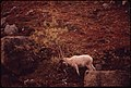 Butt Where It Itches; This Young Ram Scratches His Itching Horns on a Dwarf Alder (About 4 Miles East of the Designated Pipeline Crossing in the Atigun Gorge) 08-1973 (3971998026).jpg