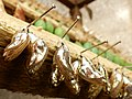 Butterfly-cocoons-golden-snd.JPG