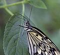 Butterfly 6s (5662445679).jpg