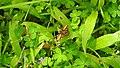 Butterfly from Madayipara DSCN2256.jpg