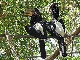 Bycanistes brevis (pair) Lagos Zoo -Portugal-8.jpg