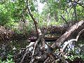 CHUUK mangrove.jpg