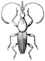 COLE Brentidae 2.png