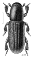 COLE Curculionidae Hylastes ater.png