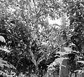 COLLECTIE TROPENMUSEUM Reuzenrandoe of kapok in vruchtdracht op onderneming Siloewok Sawangan Midden-Java TMnr 10011363.jpg