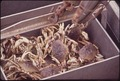 COMMERCIALLY HARVESTED DUNGENESS CRABS - NARA - 545089.tif