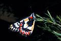 CSIRO ScienceImage 1048 Delias aganippe Pieridae.jpg