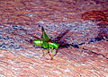 CSIRO ScienceImage 247 A Micutell Grasshopper.jpg
