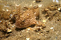 CSIRO ScienceImage 2753 Adult and Juvenile Spotted Handfish.jpg