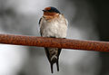 CSIRO ScienceImage 3320 Welcome Swallow.jpg
