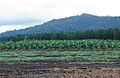 CSIRO ScienceImage 3712 Rural scene in far north Queensland Melon crop in foreground banana plantation behind with pine forest and rainforest in the background 15 Kms north of Cardwell QLD.jpg