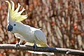 Cacatua galerita -perching on branch -crest-8a.jpg